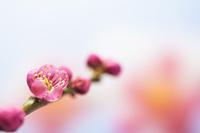 梅のイメージ