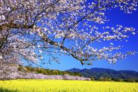 宮崎県 桜と菜の花咲く西都原古墳群