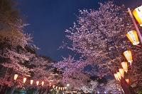 東京都 上野公園 夜桜