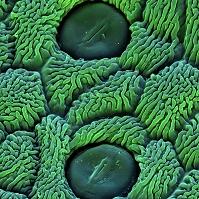 フキタンポポの葉の気孔