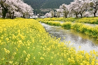 滋賀県 菜の花と余呉川