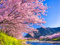 静岡県 河津川沿い 河津桜