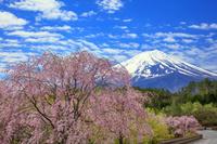 山梨県 ベニシダレザクラと富士山 河口湖創造の森付近