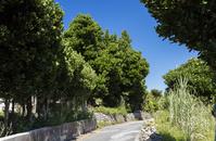 沖縄県 粟国島 フクギ並木