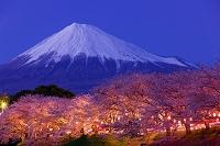 静岡県 桜と富士山