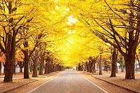 北海道 イチョウ並木
