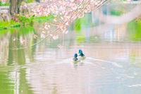 並んで泳ぐ2羽の鴨と桜