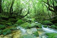 白谷雲水峡の木々と苔と川