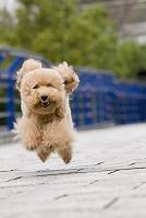橋の青い欄干の手前走ってくる犬