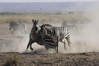 ケニア アンボセリ国立公園 グラントシマウマのケンカ