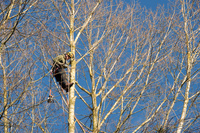 木を切る樹医(アーボリスト)
