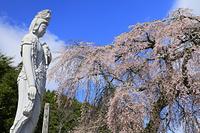 長野県 瑞光院の枝垂れ桜