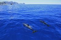東京都 クルーズ船から見るミナミハンドウイルカ