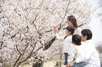 桜の花見をする家族