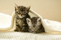 毛布に包まる2匹の子猫