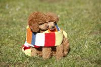 ミニチュアプードル 犬