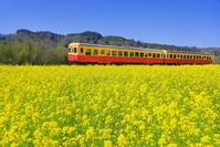 日本 千葉県 菜の花咲く春の小湊鉄道