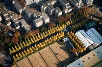 神宮外苑の紅葉のイチョウ並木