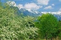 岐阜県 鍋平高原から笠ヶ岳 ズミ(コナシ)の花