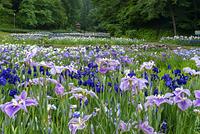 新潟県 花菖蒲 花菖蒲園 しらさぎ森林公園