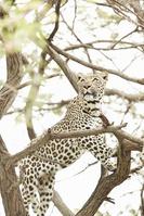南アフリカ ユキヒョウ
