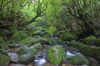 鹿児島県 苔と白谷川の清流 白谷雲水峡 屋久島