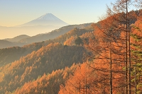 山梨県 水ヶ森林道 朝焼けの富士山と黄葉のカラマツ林