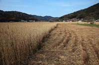 滋賀県 西の湖 水郷 葦刈り