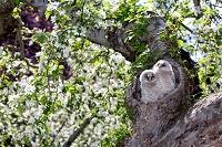 青森県 鶴田町 巣立ち間近、リンゴの花の中のふくろうのひな
