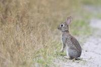 アナウサギ