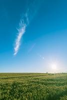 北海道 美瑛町 朝日を浴びる麦畑