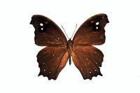 蝶 標本 クロコマチョウ 日本