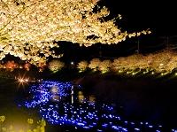南伊豆の桜 ライトアップ