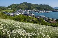 広島県 因島 馬神除虫菊畑と重井港