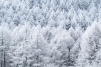 長野県 霧氷のカラマツ