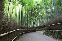 京都府 京都市  嵯峨野の竹林