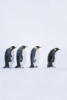 コウテイペンギン