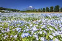 山梨県 花の都公園のネモフィラと富士山
