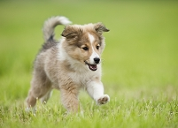 草地を走るシェルティの子犬