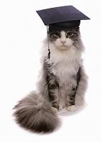 メインクーン 猫  アメリカン・ショートヘア
