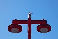 街路灯とユリカモメ東京都