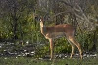 ナミビア エトーシャ国立公園 インパラ