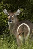 南アフリカ共和国 クルーガー国立公園 雌のウォーターバック