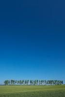 北海道 美瑛町 白樺並木と大雪山