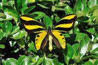 蝶 標本 チトニストリバネアゲハ