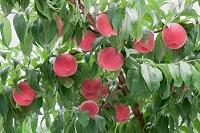 山梨県 浅間白桃