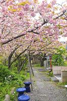 京都府 千本ゑんま堂の普賢象桜