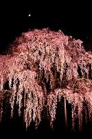 福島県 二本松市 合戦場のしだれ桜