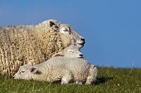 眠る羊の親子