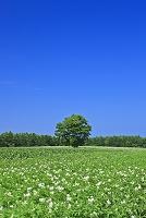 北海道 小清水町 ジャガイモ畑と一本の木